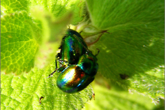 PAR_KEV_0006_kevers_coleoptera sp