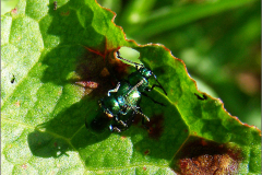 PAR_KEV_0007_kevers_coleoptera sp