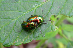 PAR_KEV_0008_kevers_coleoptera sp