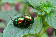 PAR_KEV_0009_kevers_coleoptera sp