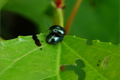 PAR_KEV_0011_kevers _coleoptera sp