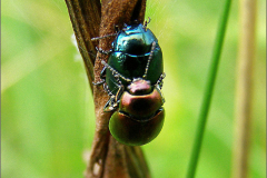 PAR_KEV_0012_kevers _coleoptera sp