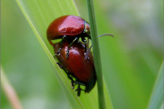 PAR_KEV_0014_kevers _coleoptera sp