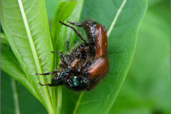 PAR_KEV_0016_kevers _coleoptera sp