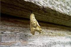 POP_0016_lepidoptera sp
