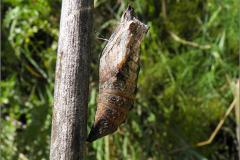 POP_0018_lepidoptera sp