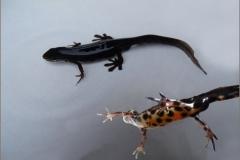 SAL_0010_kleine watersalamander_lissotriton vulgaris