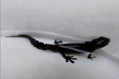 SAL_0012_kleine watersalamander_lissotriton vulgaris
