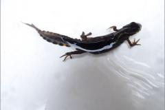 SAL_0013_kleine watersalamander_lissotriton vulgaris