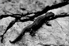 SAL_0020_alpensalamander_salamandra atra
