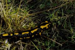 SAL_0025_ vuursalamander_ salamandra salamandra