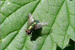 VLM_0008_groene keizersvlieg_lucilia caesar