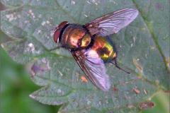 VLM_0010_groene keizersvlieg_lucilia caesar