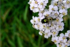 VLM_0011_groene keizersvlieg_lucilia caesar
