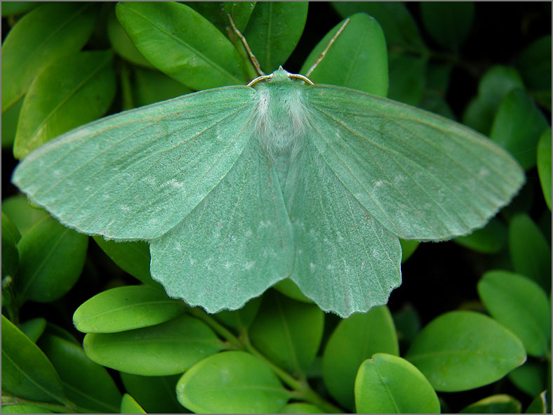 SPAN_0003_zomervlinder_geometra papilionaria