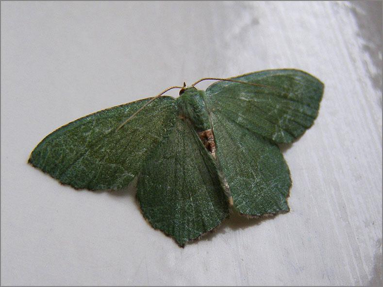 SPAN_0005_kleine zomervlinder_hemithea aestivaria