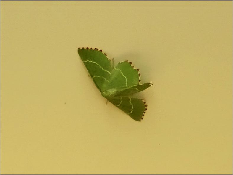 SPAN_0008_geblokte zomervlinder_thalera fimbrialis