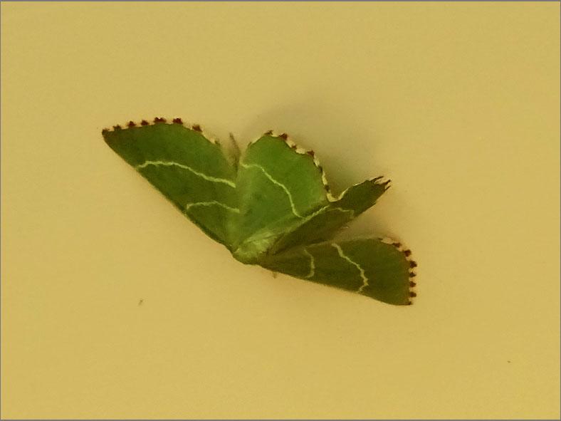 SPAN_0009_geblokte zomervlinder_thalera fimbrialis