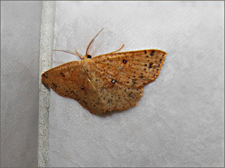 SPAN_0015_eikenoogspanner_cyclophora porata