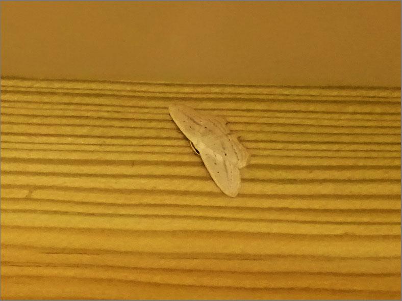 SPAN_0024_witroze stipspanner_scopula emutaria