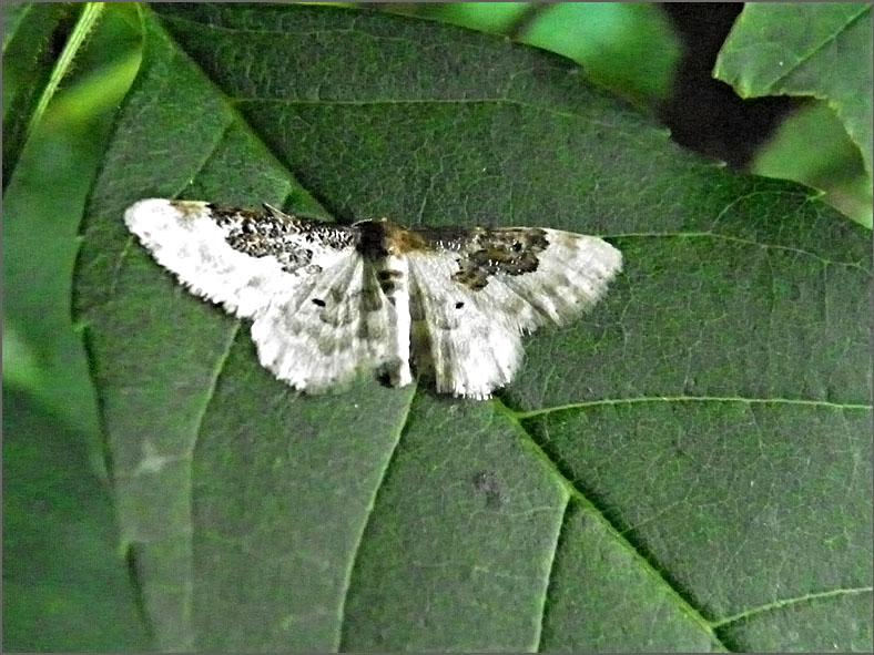 SPAN_0047_schaduwstipspanner_idaea rusticata