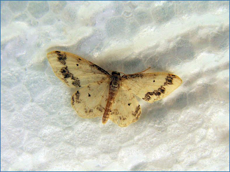 SPAN_0057_zuidelijke stipspanner_idaea trigeminata