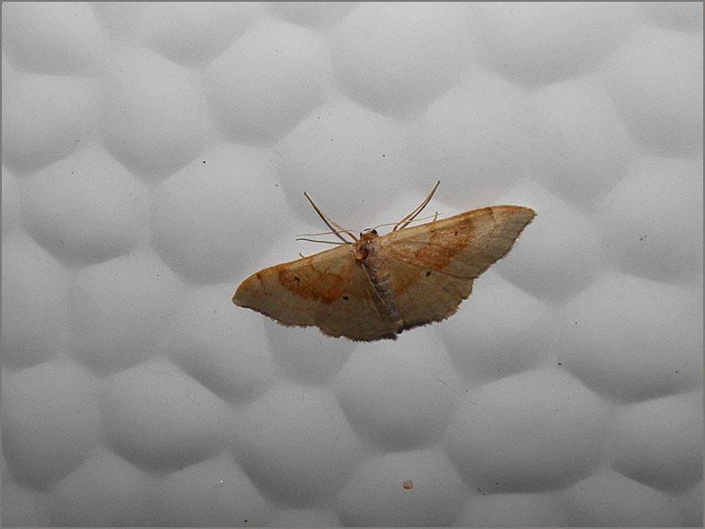 SPAN_0061_grote voorjaarsspanner_idaea degeneraria habitus typique