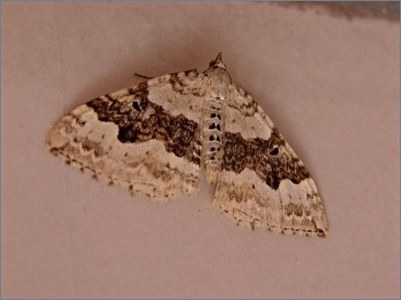 SPAN_0084_geoogde bandspanner_xanthorhoe montanata