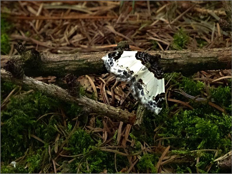 SPAN_0106_brummelspanner_mesoleuca albicillata