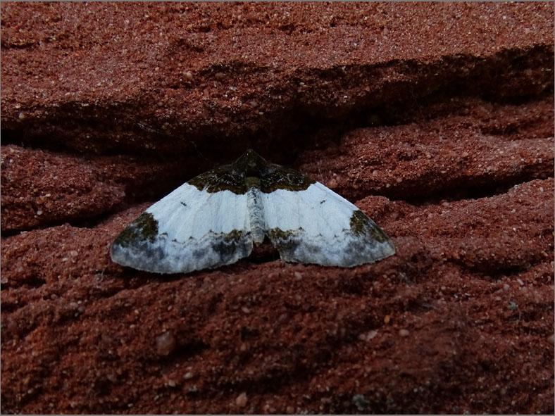 SPAN_0107_brummelspanner_mesoleuca albicillata