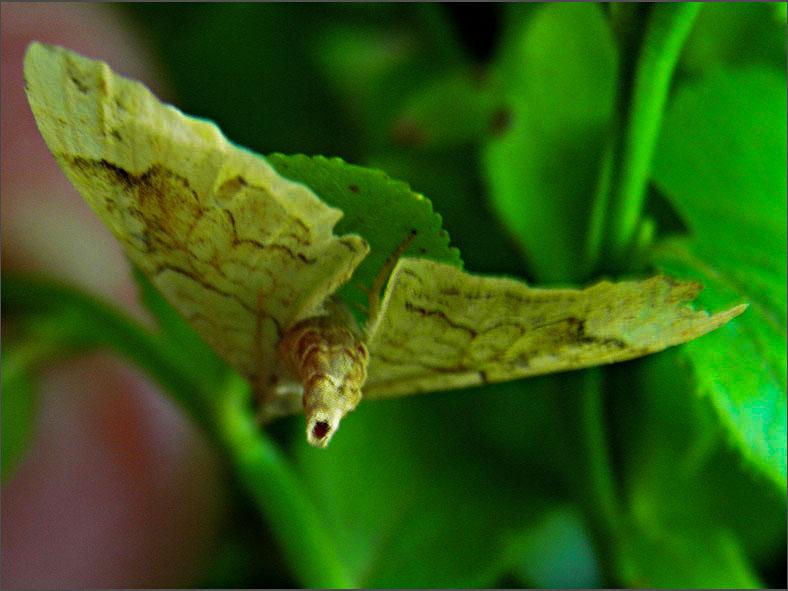 SPAN_0113_gewone agaatspanner_eulithis populata