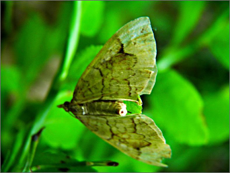 SPAN_0114_gewone agaatspanner_eulithis populata
