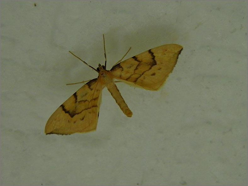 SPAN_0118_gele agaatspanner_gandaritis pyraliata