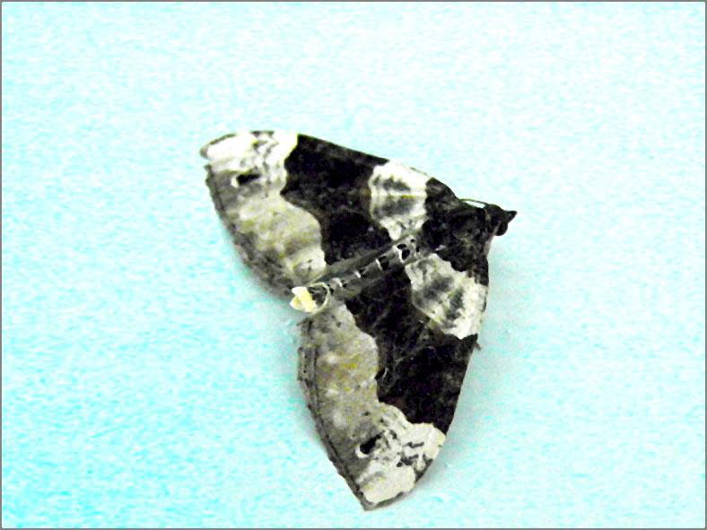 SPAN_0120_blauwbandspanner_cosmorhoe ocellata