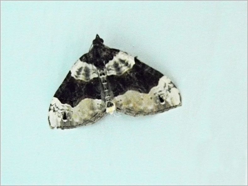 SPAN_0121_blauwbandspanner_cosmorhoe ocellata