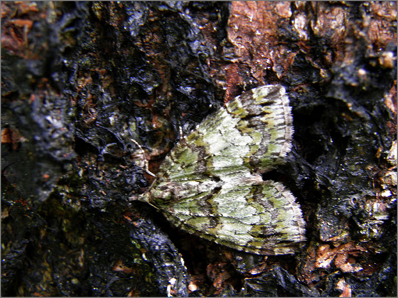 SPAN_0141_groenbandspanner_hydriomena impluviata
