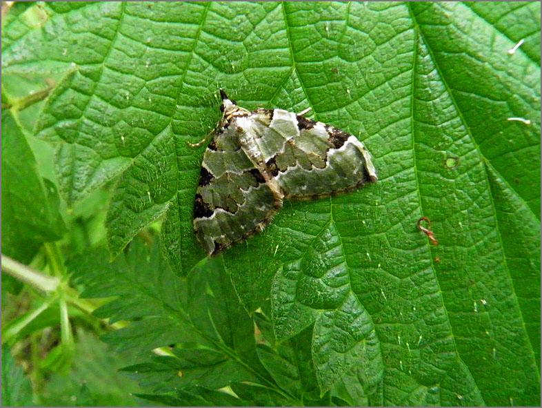 SPAN_0143_kleine groenbandspanner_colostygia pectinataria