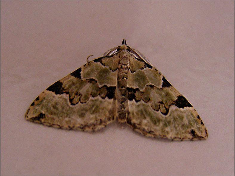SPAN_0144_kleine groenbandspanner_colostygia pectinataria