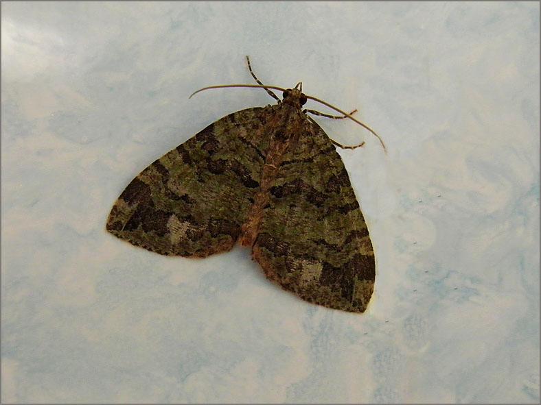 SPAN_0145_variabele spanner_hydriomena furcata