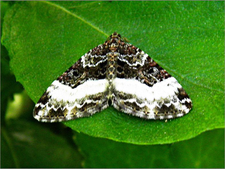 SPAN_0159_scherphoekbandspanner_euphyia unangulata
