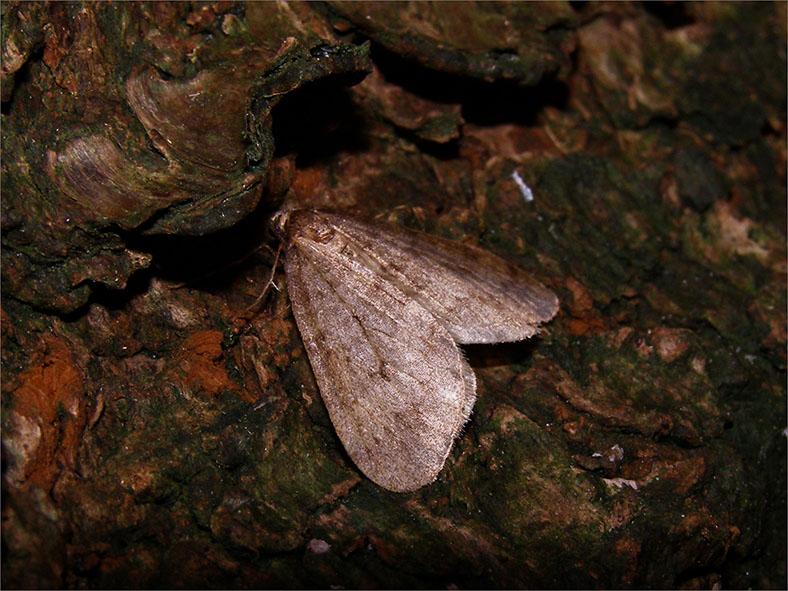 SPAN_0176_kleine wintervlinder_operophtera brumata