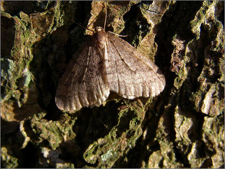 SPAN_0177_kleine wintervlinder_operophtera brumata