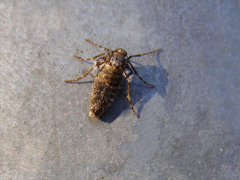 SPAN_0178_kleine wintervlinder_vr_operophtera brumata