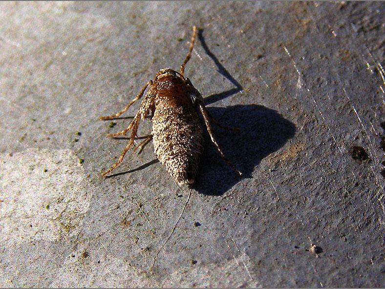 SPAN_0179_kleine wintervlinder_vr_operophtera brumata