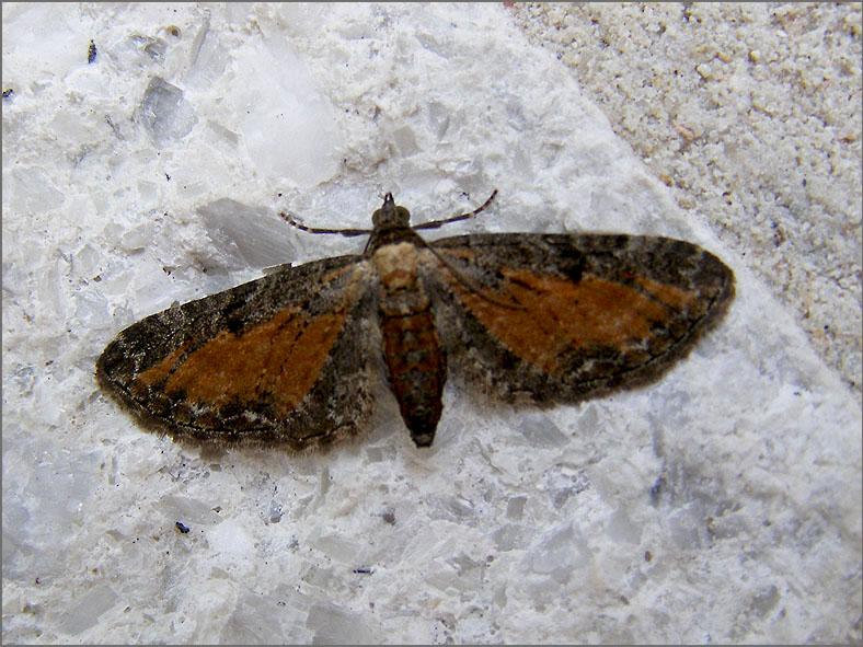 SPAN_0216_oranje dwergspanner_eupithecia subfuscata