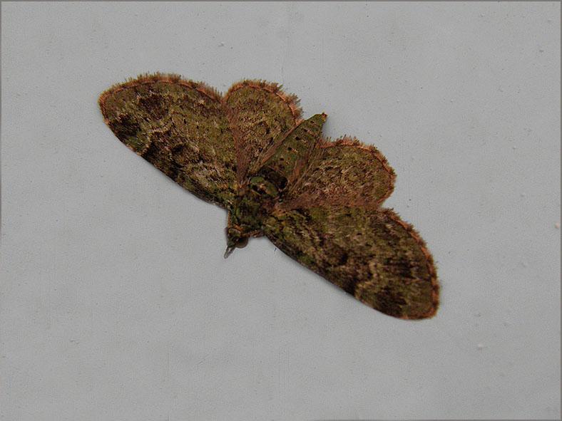 SPAN_0233_groene dwergspanner_eupithecia subfuscata