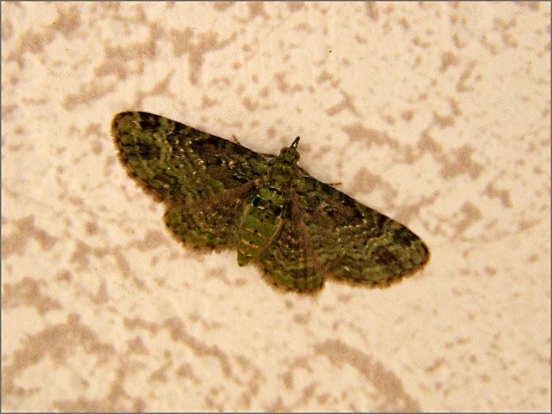 SPAN_0234_groene dwergspanner_eupithecia subfuscata
