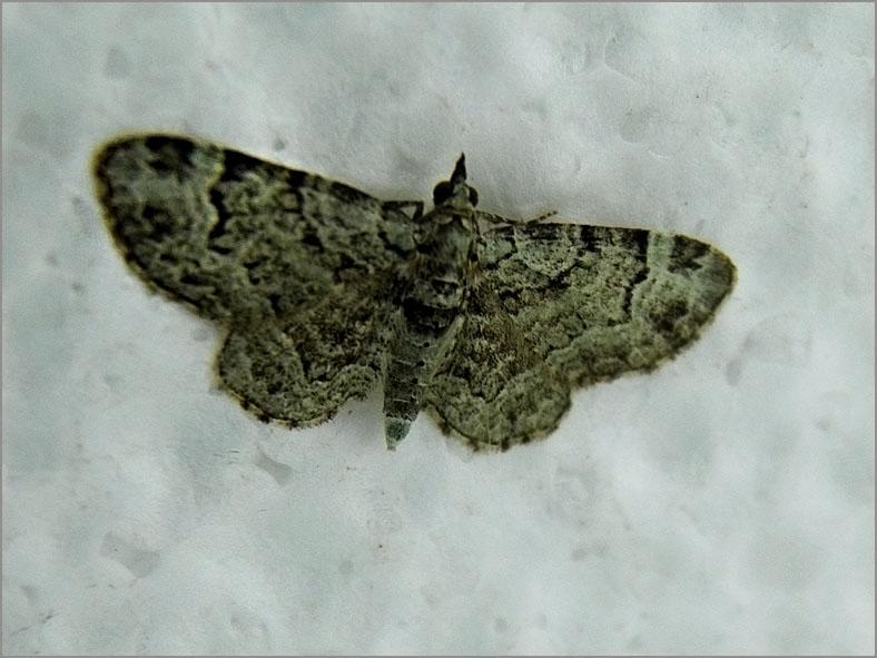 SPAN_0235_groene dwergspanner_eupithecia subfuscata