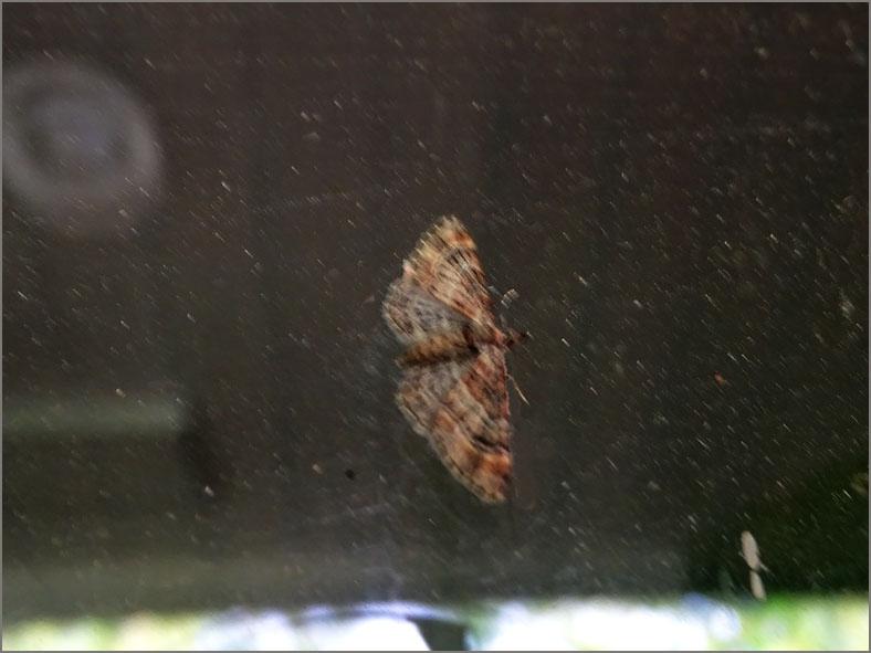 SPAN_0238_zwartkamdwergspanner_gymnoscelis rufifasciata