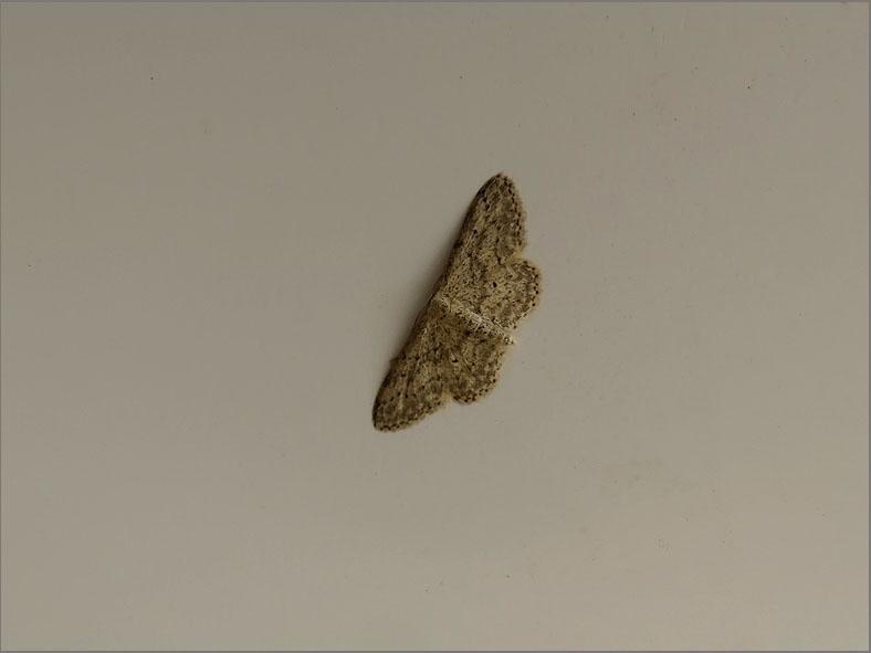 SPAN_0240_paardenbloemspanner_idaea seratia